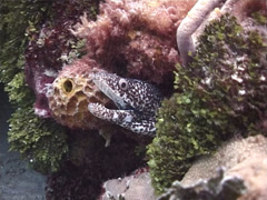 Spotted moray gaping, Gymnothorax moringa, UP2616 Stock Footage