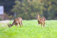 Two bucks deer in the wild - stock photo