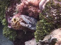 Spotted moray gaping, Gymnothorax moringa, UP2617 Stock Footage