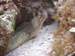 Unidentified moray, Muraena sp. Video 2620. Stock Footage