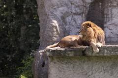 Leijona Kuvituskuvat