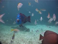 Midnight parrotfish swimming, Scarus coelestinus, UP2625 Stock Footage