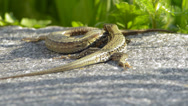 Two lizards fighting Stock Footage