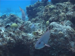 Redtail parrotfish swimming, Sparisoma chrysopterum, UP2646 Stock Footage
