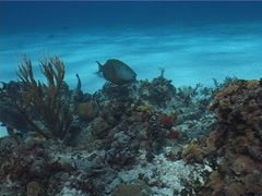 Stoplight parrotfish feeding on shallow coral reef, Sparisoma viride, UP2658 Stock Footage