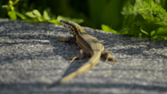 Lizard looking at the camera Stock Footage