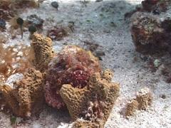 Spotted scorpionfish, Scorpaena plumieri, UP2676 Stock Footage
