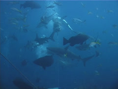 Caribbean reef shark feeding in fish feeding arena, Carcharhinus perezi, UP2688 Stock Footage