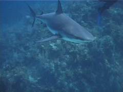 Group of scuba divers swimming in fish feeding arena with Caribbean reef shark Stock Footage