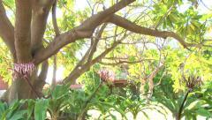 Large Hawaiian Plumeria Tree - stock footage