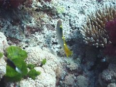 Fish | Wrasses | Checkerboard Wrasse | Hunting | Medium Shot Stock Footage