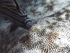 Yellow stingray cleaning and being cleaned, Urolophus jamaicensis, UP2707 Stock Footage