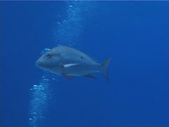 Mutton snapper swimming, Lutjanus analis, UP2722 - stock footage