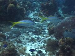 Yellowtail snapper swimming, Ocyurus chrysurus, UP2733 Stock Footage