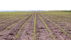 Young Corn Field Stock Footage