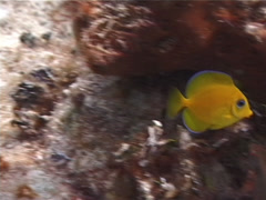 Juvenile Blue Tang swimming, Acanthurus coeruleus, UP2756 Stock Footage