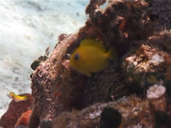 Juvenile Blue Tang swimming, Acanthurus coeruleus, UP2765 Stock Footage