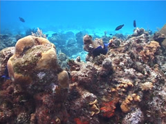 Blue Tang swimming, Acanthurus coeruleus, UP2774 Stock Footage