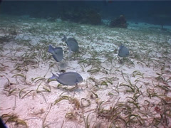 Blue Tang feeding and schooling on seagrass meadow, Acanthurus coeruleus, UP2777 Stock Footage