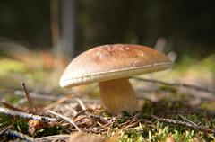 edible mushroom in forest - stock photo