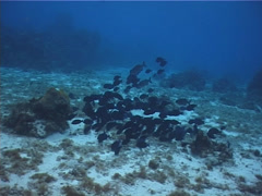 Blue Tang feeding and schooling on shallow coral reef, Acanthurus coeruleus, Stock Footage