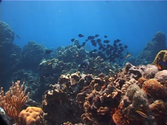 Blue Tang swimming and schooling on shallow coral reef, Acanthurus coeruleus, Stock Footage