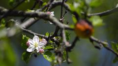 Apple in springtime- flower and fruit Stock Footage