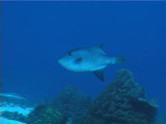 Ocean triggerfish swimming, Canthidermis maculata, UP2794 Stock Footage