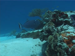 Sargassum triggerfish swimming, Xanthichthys ringens, UP2801 Stock Footage