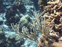 Trumpetfish swimming, Aulostomus maculatus, UP2806 Stock Footage