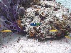 Bluehead wrasse swimming, Thalassoma bifasciatum, UP2813 Stock Footage