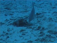 Hogfish hunting, Lachnolaimus maximus, UP2819 Stock Footage