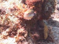 Slippery dick swimming, Halichoeres bivittatus, UP2838 Stock Footage