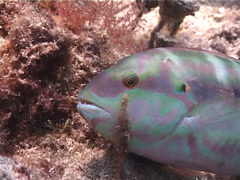 Slippery dick dying, Halichoeres bivittatus, UP2842 Stock Footage