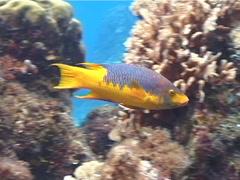 Spanish hogfish swimming, Bodianus rufus, UP2847 Stock Footage