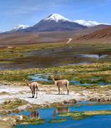 Vicuñas graze in the atacama, volcanoes licancabur and juriques. chile-argen Stock Photos