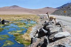 Vicuñas and alpacas graze in the atacama Stock Photos
