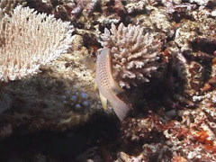 Fish | Wrasses | Latent Slingjaw Wrasse | Tracking Stock Footage