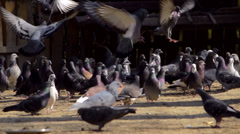Flock of pigeons Stock Footage