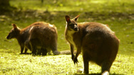 Wallaby sitting Stock Footage