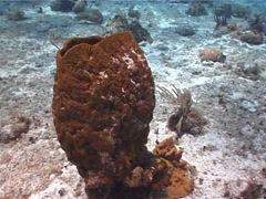 Netted barrel sponge, Verongula gigantea, UP2952 Stock Footage