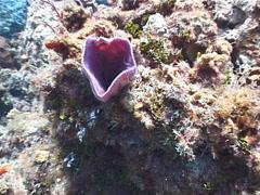 Pink vase sponge, Niphates digitalis, UP2961 Stock Footage