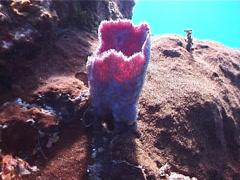 Pink vase sponge, Niphates digitalis, UP2962 Stock Footage
