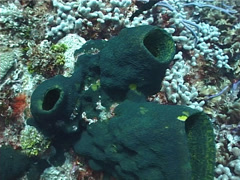 Branching tube sponge, Pseudoceratina crassa, UP2971 Stock Footage