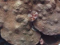 Unidentified brown white fan worm closing, Sabellastarte sp. Video 2995. Stock Footage