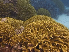 Ocean scenery large hard coral garden, ends on anemonefish, on shallow coral Stock Footage