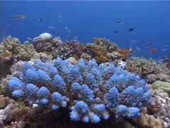 Mixed hard coral garden, Acropora spp. Video 3028. Stock Footage