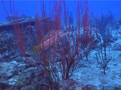 Red sea whips on wreckage, Ellisella sp. Video 3038. Stock Footage