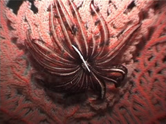 Unidentified red sea fan at night, Siphonogorgia sp. Video 3046. Stock Footage