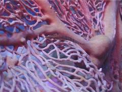 Longnose hawkfish, Oxycirrhites typus, UP3047 Stock Footage